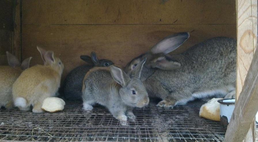 В редких случаях у крольчих могут возникать сложности с лактацией, что приводит к истощению детенышей