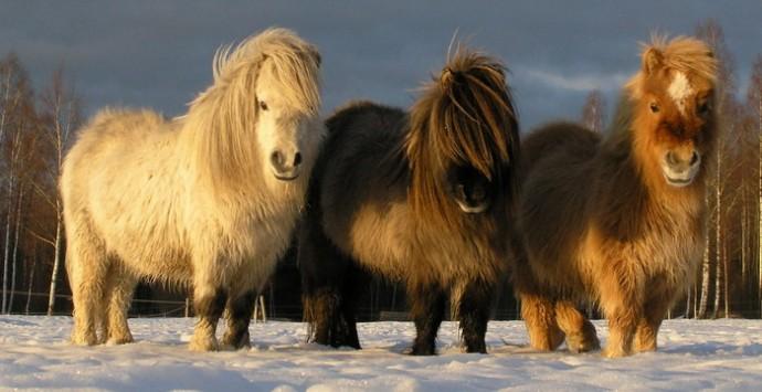 В силу своих компактных размеров и спокойного характера карликовые лошади легко уживаются друг с другом