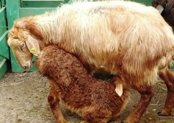 В течение первых месяцев овцематка обеспечивает ягнят всем необходимым питанием