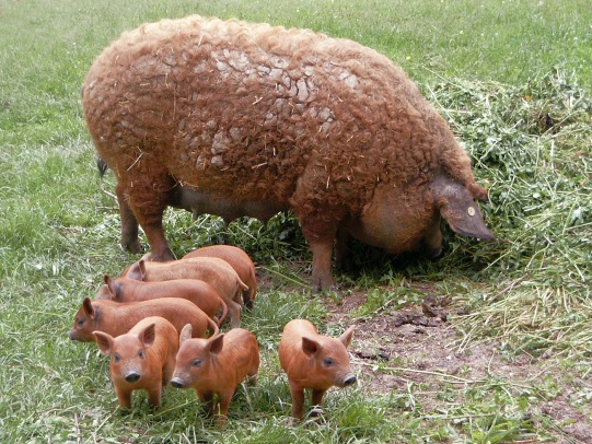 В течение полутора месяцев со дня родов желательно содержать свинью с молодняком в отдельном загоне