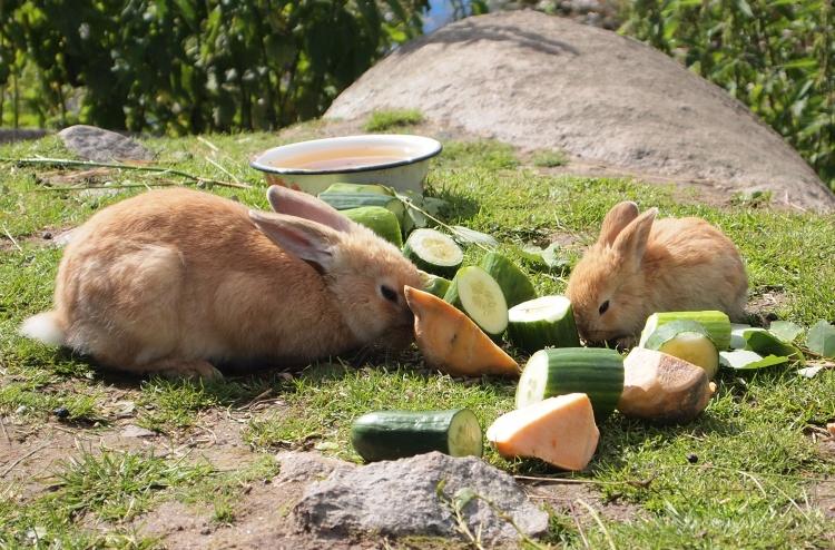 Далеко не все сочные корма предназначены для переваривания желудками кроликов