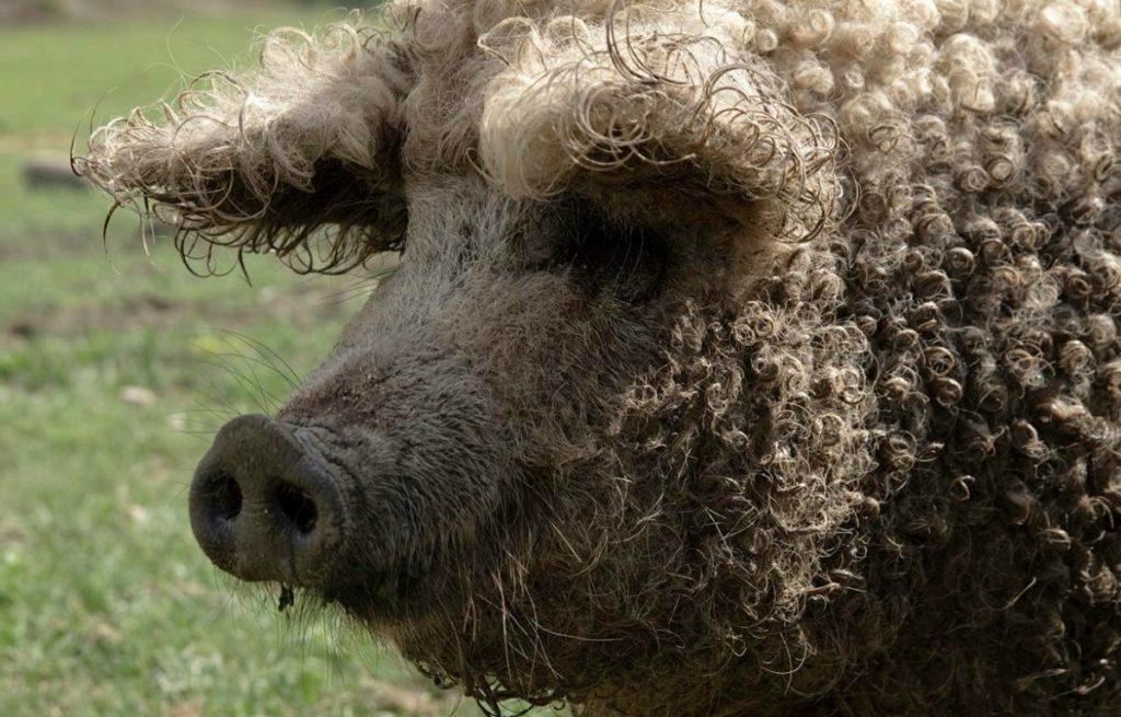 Данная порода свиней считается венгерским национальным достоянием