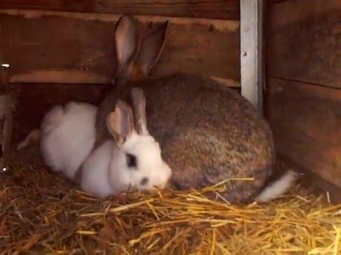 Для того, чтобы кролики приступили к спариванию нужно убрать из клетки все отвлекающие предметы