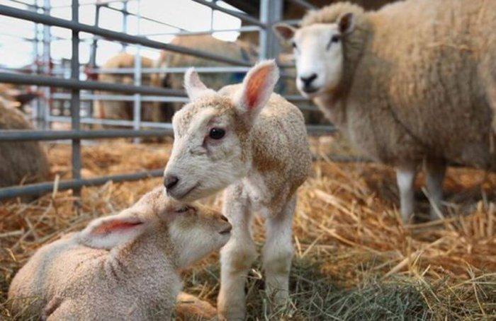 До и после рождения ягнят овцематка должна получать корм высшего качества