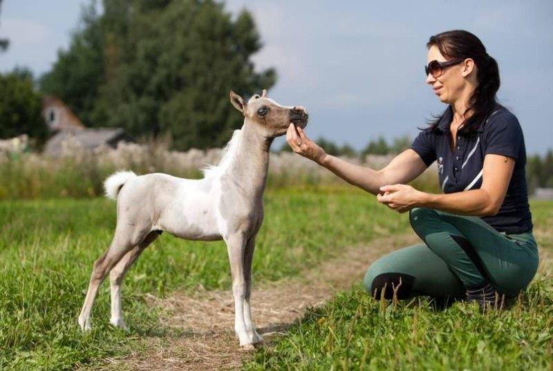 Жеребята Американских миниатюрных лошадей растут в течение трех лет