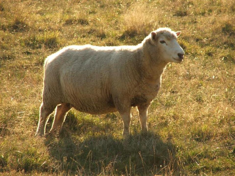 Жировой мешок сараджинских овец сокрыт под довольно густым слоем шерсти