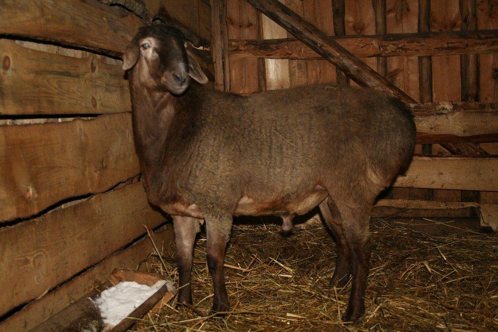 Загон для гиссарских овец должен отвечать основным требованиям защите от дождя и сохранению сухости