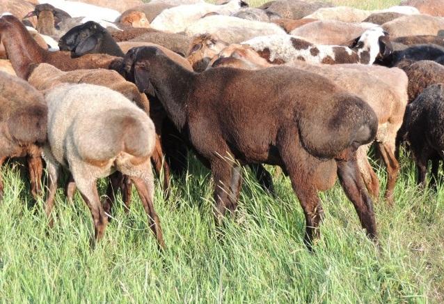 Запаситесь терпением перед приучением овец к овчарням - эти животные очень осторожны и недоверчивы
