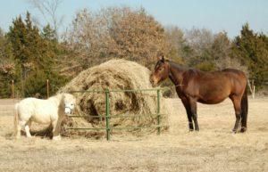 И спортивные, и карликовые лошади должны принимать пищу по установленному расписанию