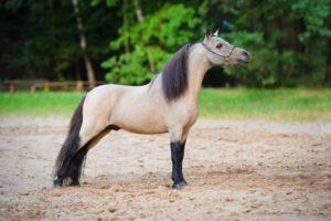 Как и Фалабелла, Американские миниатюрные лошади часто сопровождают детей в их первых поездках верхом