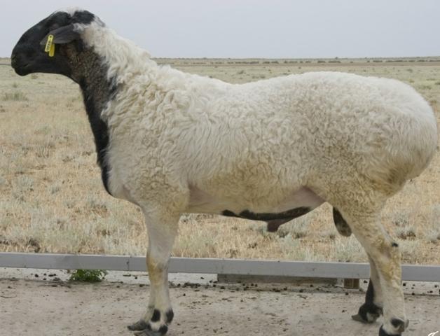 Калмыцкие овцы издавна сопровождали монголов в их изнурительных путешествиях
