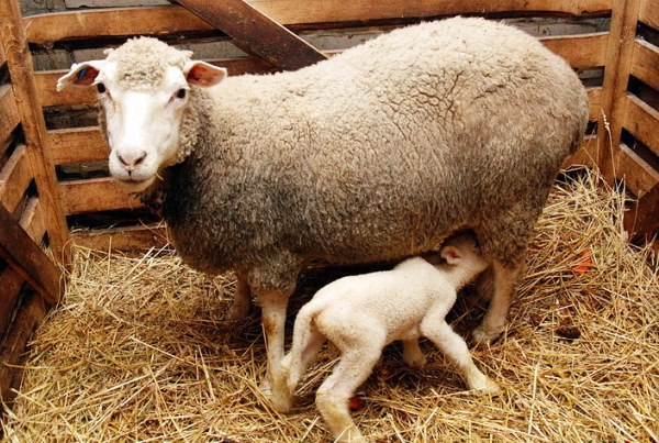 Качественное питание овцематок позволяет им выкормить здоровых и крепких ягнят