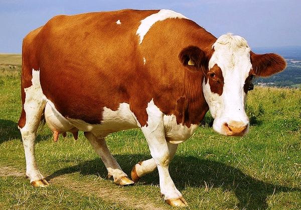 Кетоз часто поражает коров спустя несколько месяцев после родов