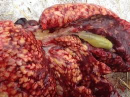 Кишечный кокцидоз является самой опасной формой болезни и сопровождается острой диареей