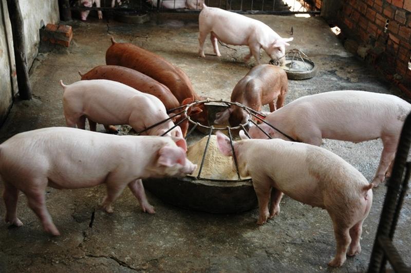 """Количество используемого концентрата зависит от """"контекста"""" питания свиней и прочих его составляющих"""