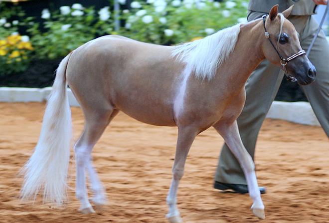 Копыта миниатюрных лошадей быстро загрязняются и могут затруднять передвижение