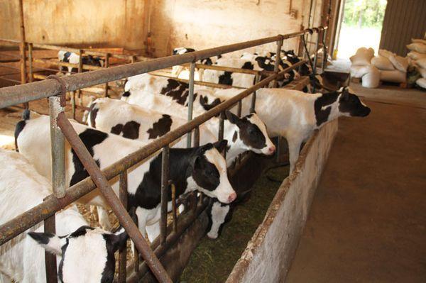 Загон коров как сделать загон для коров