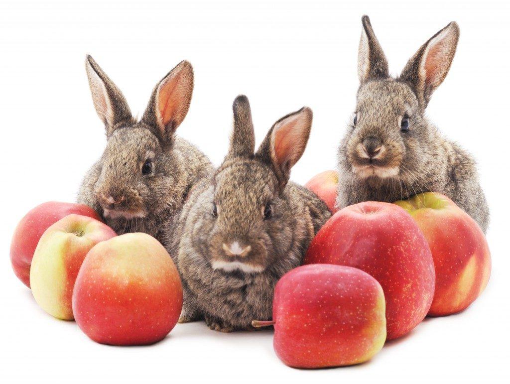 Кроликам допускается давать не только ветви яблонь, но и сами яблоки в ограниченном количестве