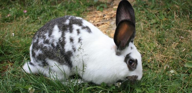 Кролики породы Ризен созревают значительно позже, чем кролики других пород, однако отличаются своей плодовитостью