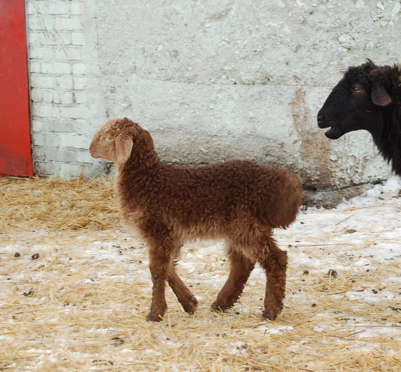 Курдючные овцы могут успешно выгуливаться даже на пастбищах, тронутых первым снегом