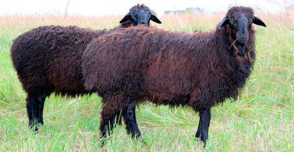 Курдючные овцы