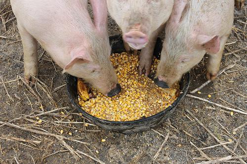 Кукуруза с удовольствием потребляется свиньями, однако в ней содержится мало полезных веществ