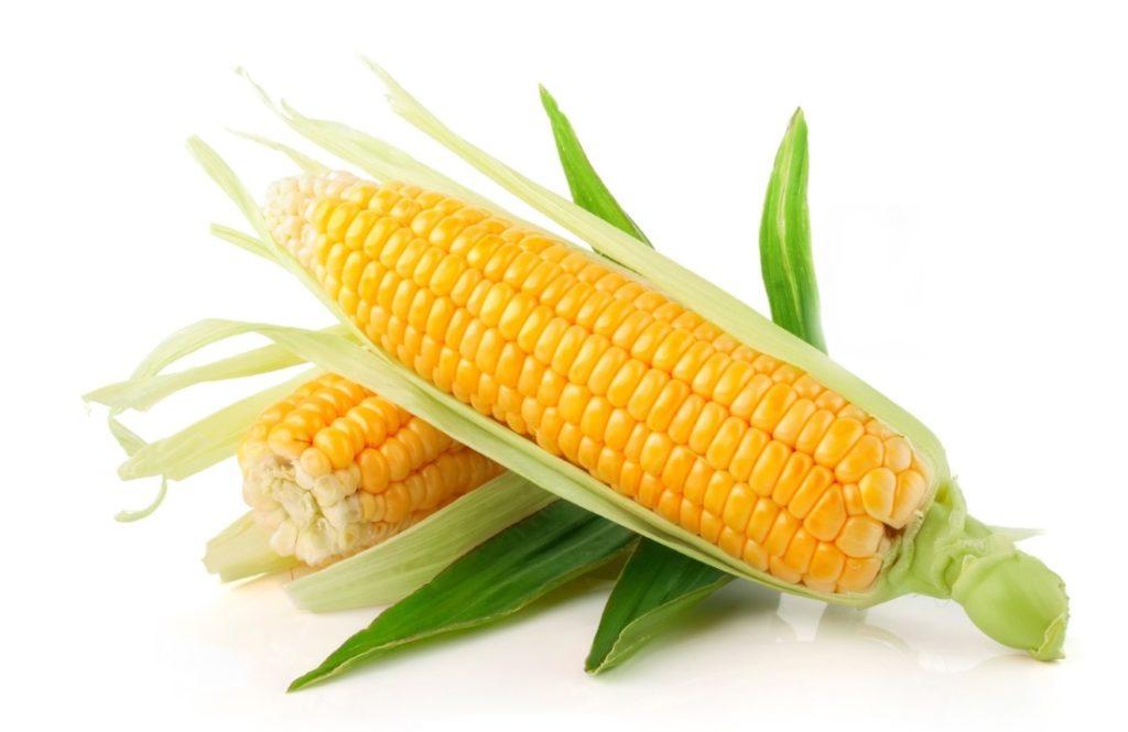 Кукурузные початки являются излюбленным блюдом для мангалиц
