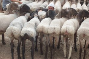 Курдючные породы различаются по региону, в котором они были выведены селекционерами