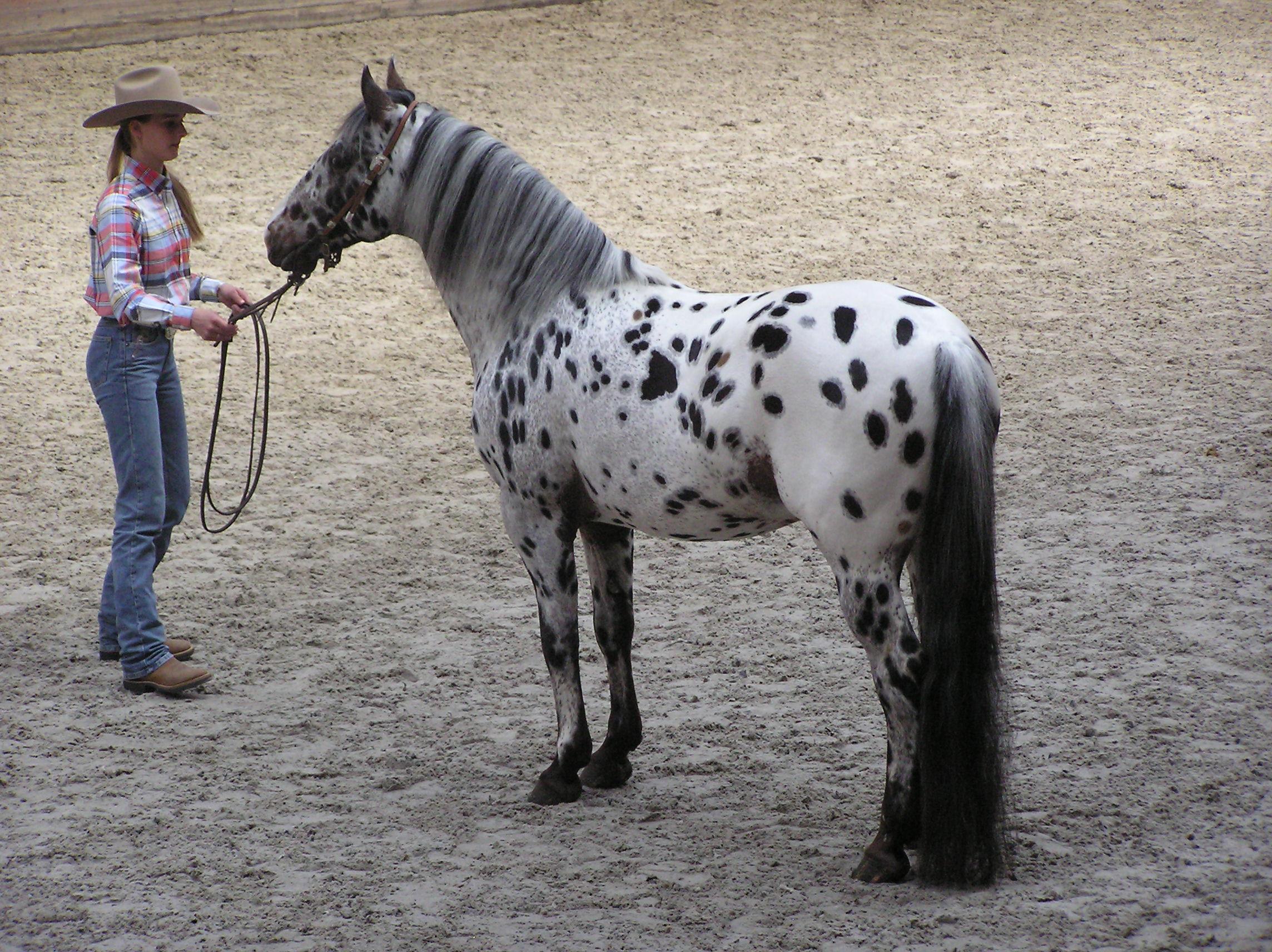 Лошадей Мини-апалуза часто тренируют для шоу, на которых они показывают отличные результаты
