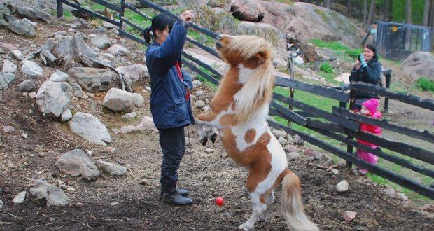 Лошади данной породы очень крепко привязываются к своим хозяевам и считают их родными