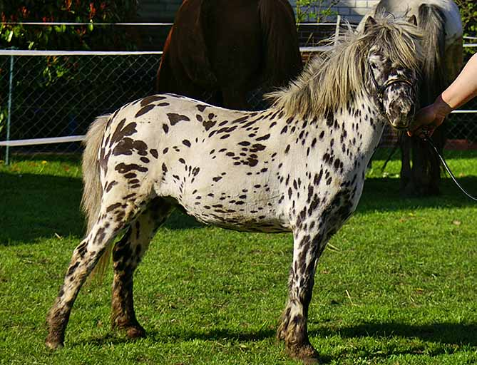 Лошади породы Мини-апалуза выращивались индейским племенем путем селекции