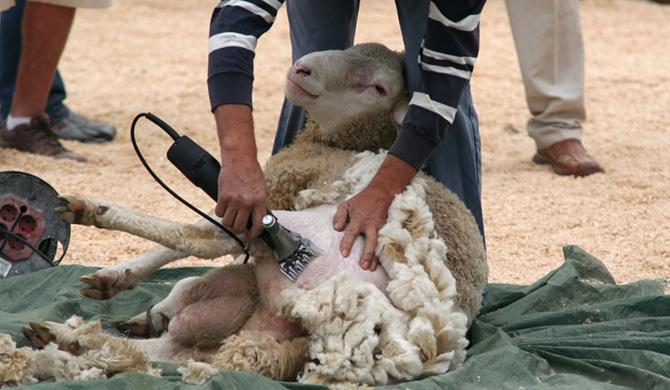 Шерсть сараджинских овец широко востребован на современном рынке