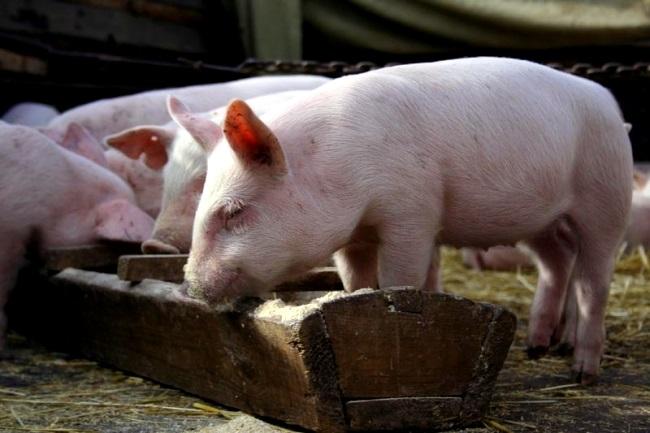 Мясной откорм свиней предполагает увеличение в первую очередь мышечной массы животного