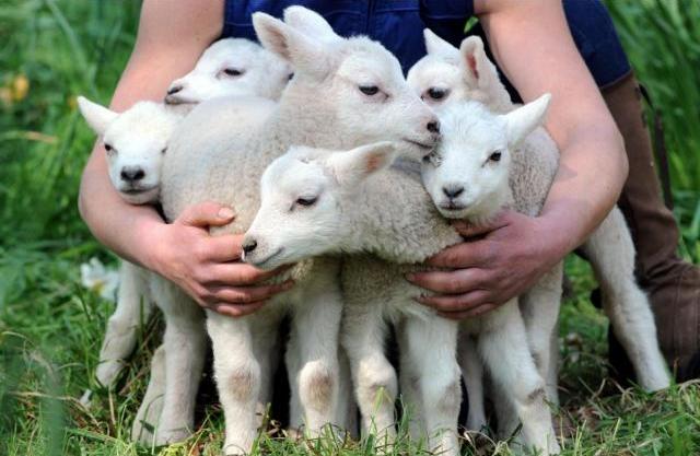 Объем съедаемой овцематкой пищи пропорционален выкармливаемому ей молодняку