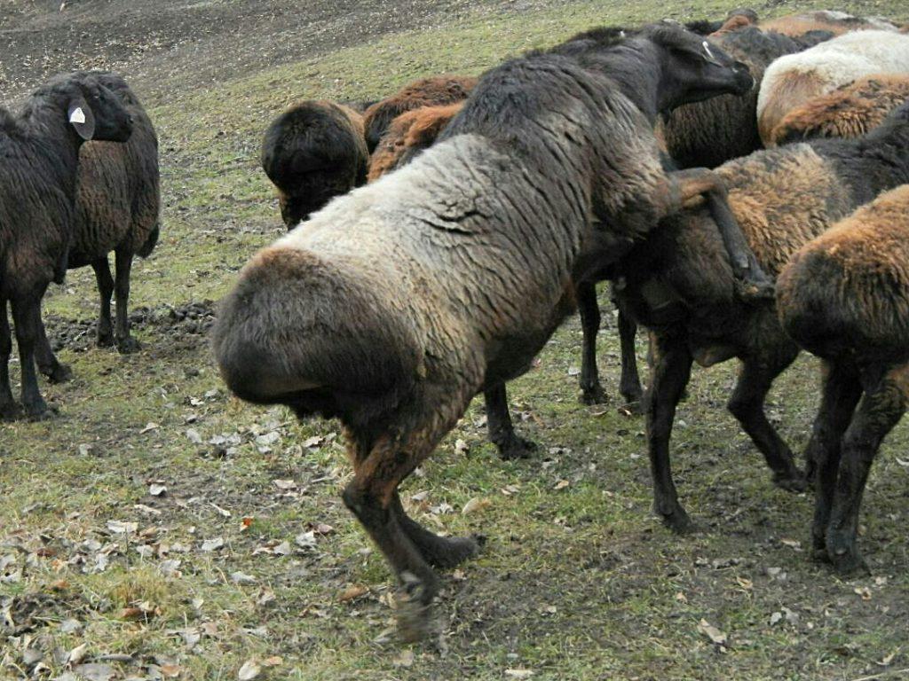 Одного-двух самцов на целое стадо вполне хватает, чтобы регулярно оплодотворять овцематок