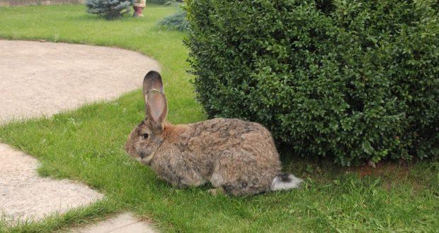 Ожирение не только негативно сказывается на размножении кроликов, но и вредит их здоровью