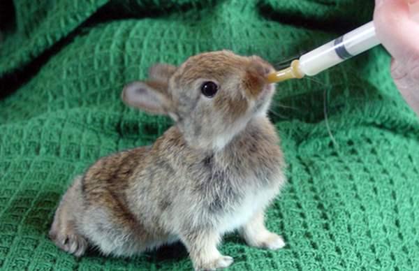 Отпаивание крольчат искусственными смесями поможет им восполнить недостаток материнского молока