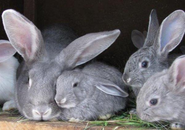 Очищение организма кролика от глистов поможет легче перенести вакцинацию