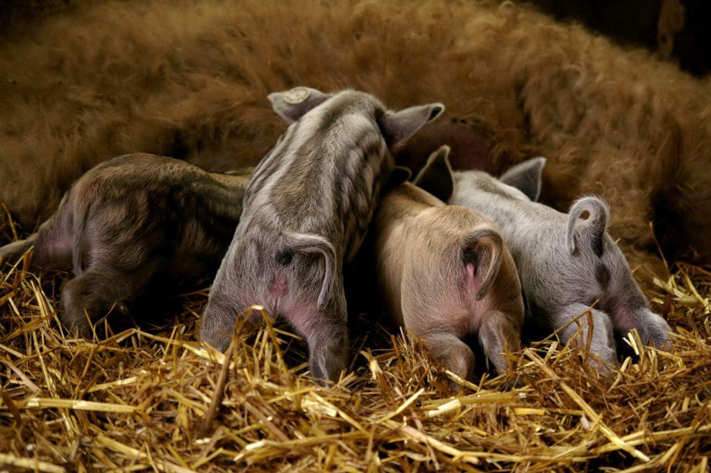Первые месяцы после рождения поросята будут обеспечены материнским молоком