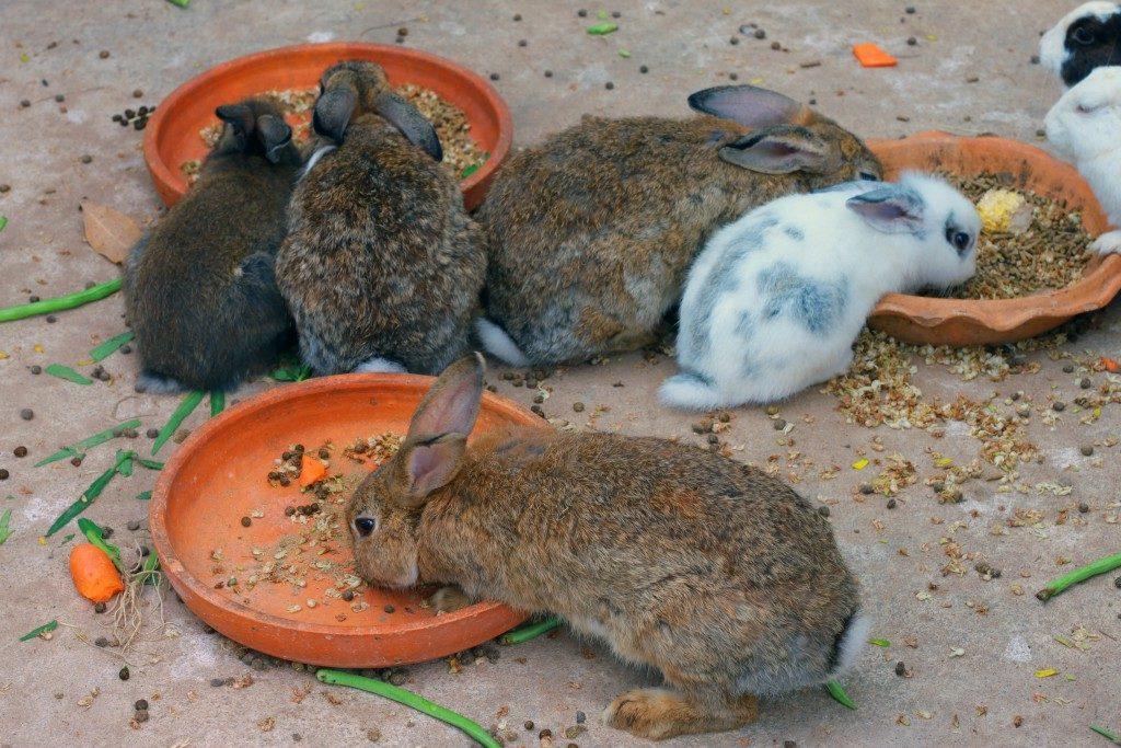Перед вакцинацией крольчата должны превосходно себя чувствовать и не испытывать недомоганий