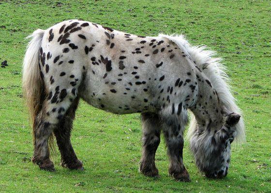 Поддерживать крепость костей карликовым лошадям помогут витаминные добавки с кальцием