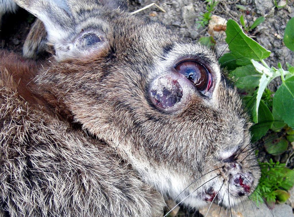 Распространение по телу кролика характерных шишек происходит при длительном отсутствии лечения