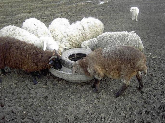 Половина шины способна напоить сразу несколько овец