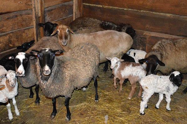 Понять о начале или близости родовой активности можно по беспокойству овцематки
