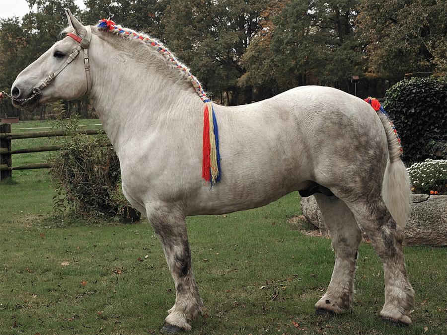 Предполагается, что в создании породы участвовали гены сразу нескольких видов лошадей