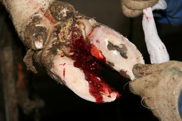При неаккуратном обрезании копыта существует риск нанести животному болезненное ранение