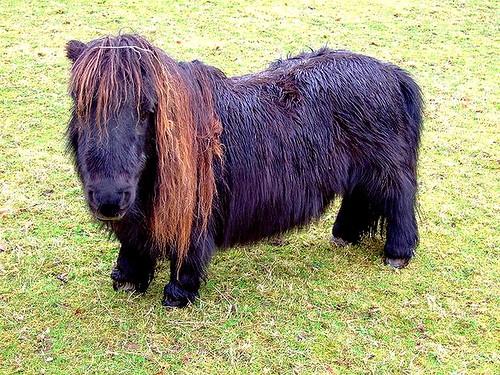 При неправильном кормлении миниатюрные лошади быстро набирают вес