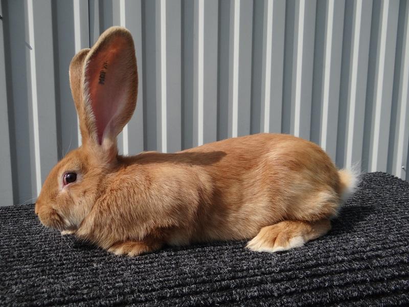 При приобретении кролика Ризена у заводчика, вы сможете консультироваться с ним по возникающим вопросам
