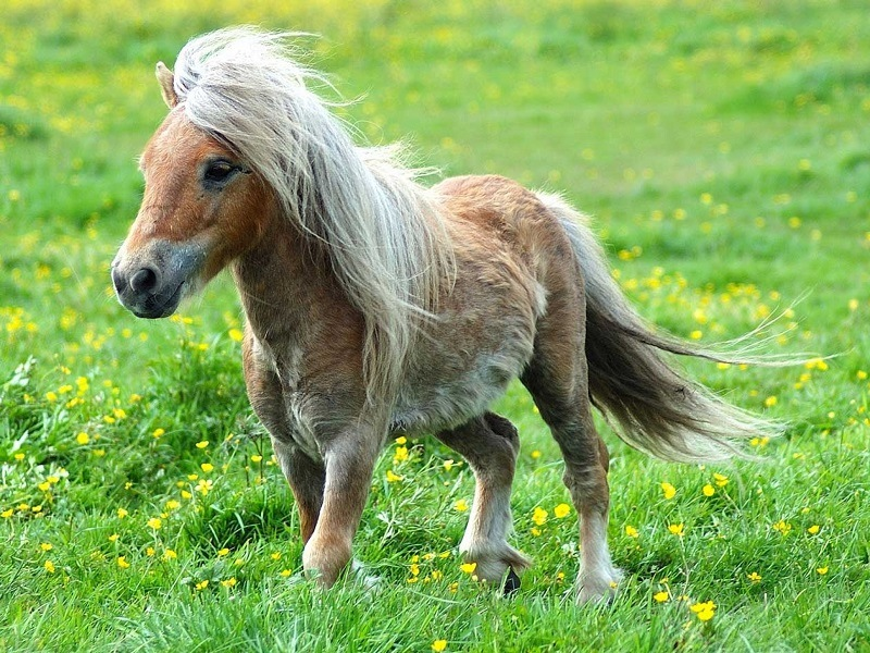 Пропорции лошадей Фалабелла ничем не отличаются от пропорций обычных лошадей