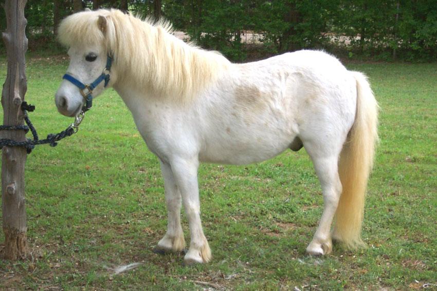 Рацион карликовых лошадей разрабатывается индивидуально исходя из особенностей ее организма
